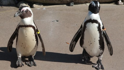 ht pedro buddy penguins jef 111108 wblog Gay Penguins to Be Separated at Toronto Zoo