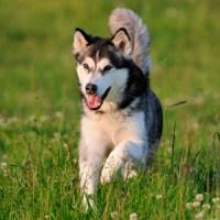 Dog Reflections ~ Alaskan Malamute, American Eskimo & Basenji