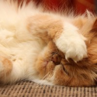 Peke-Faced Red Persian Reflection