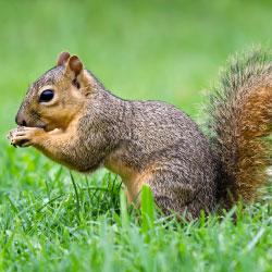 squirrel control removal chicago