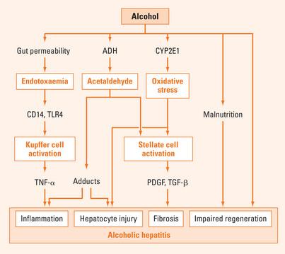 Alcoholic liver disease | Abdominal Key