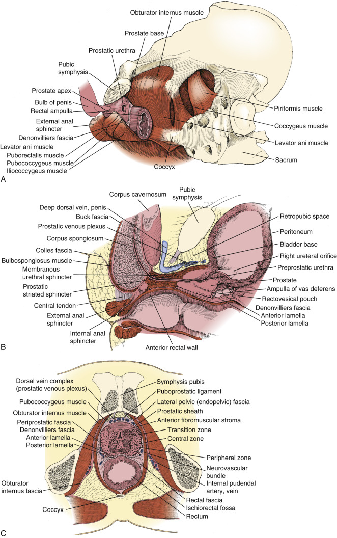 Anatomy And Principles Of Excision Of The Prostate Abdominal Key