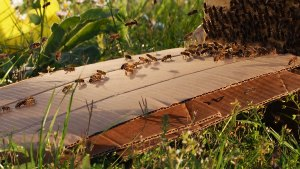 recuperation-essaim-sauvage-pheromones-abeilles.jpg