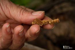 DC Celdas de cría de scaptotrigona pectoralis Se observa una abeja en su última etapa de desarrollo
