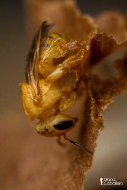 DC Scaptotrigona Pectoralis saliendo de su celda
