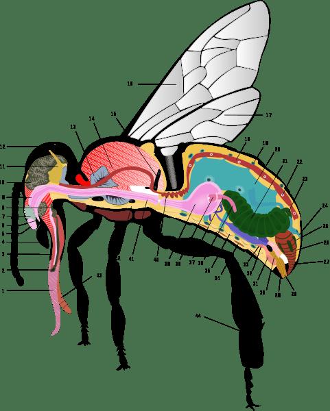 anatomia abelha
