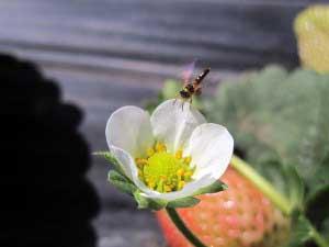 abelha-morango4