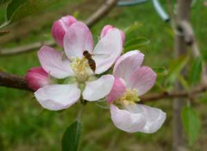 abelha-macieira