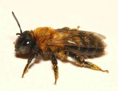Andrena_nigriceps