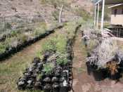 Salvaged plants from the Northshore Rd realignment, Lake Mead National Recreation Area