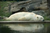 planking-bear