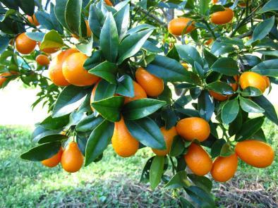 kumquat-nagami-3211