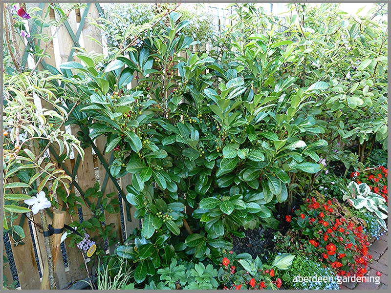 Prunus laurocerasus (Cherry Laurel)