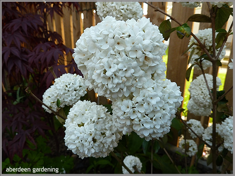 Viburnum Eskimo blooming in early May pur white flowers the size of a tennis ball.
