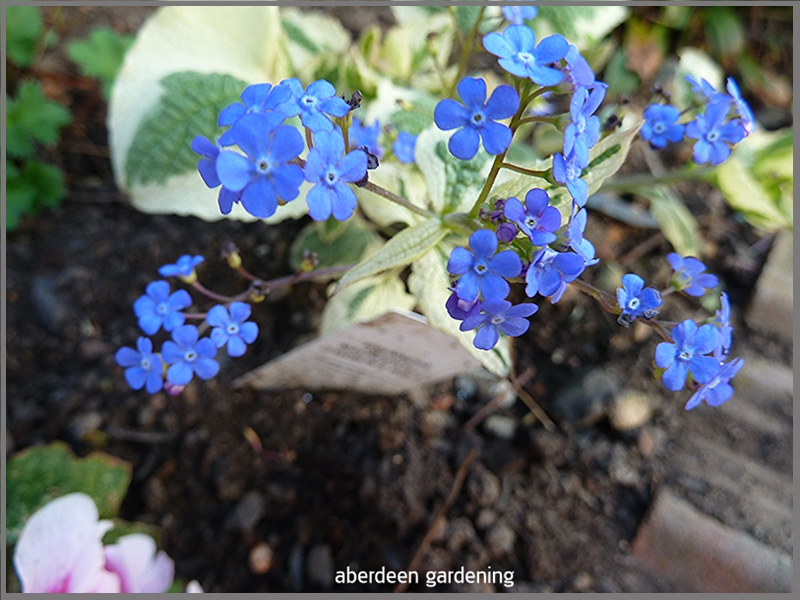 Brunnera Macrophylia dawsons whitestarted to flower early this year at the end of February.