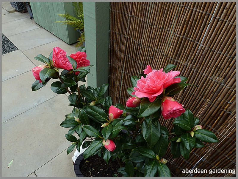 Showing Camellia × williamsii 'Anticipation' growing in a tub just outside the bac door.