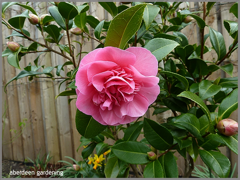 Camellia Debbie. Just coming into flower at the end of March