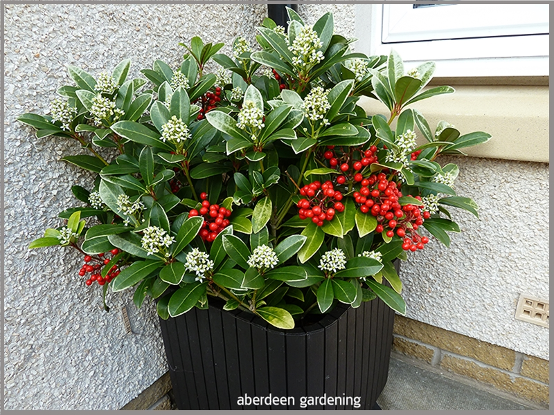 Skimmia japonica temptation. On of the best self fertile Skimmias.