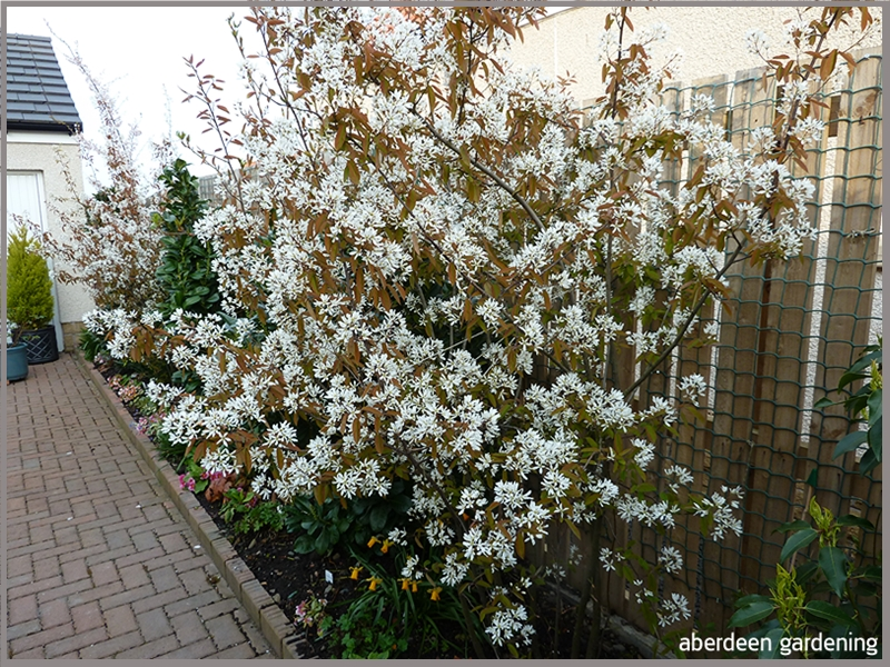 Also in the courtyard is two multi stemmed Amelanchier Lamarkii. Absolutely smothered in white blooms, mid April