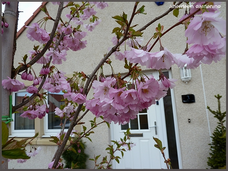 Prunus Accolade, picture taken in our front garden early April. This picture is a close up view of the clusters of pink blossom