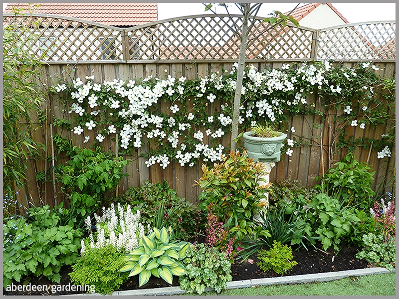 The fence in our back garden smothered with Clematis Montana Grandiflora.