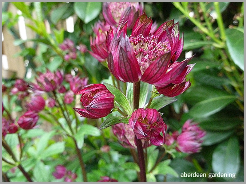 Astrantia Star of Fire, close up shot of the very dark red flowers.