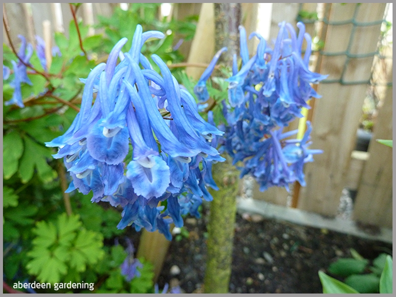Corydalis Blue Line looking magnificent in our courtyard.