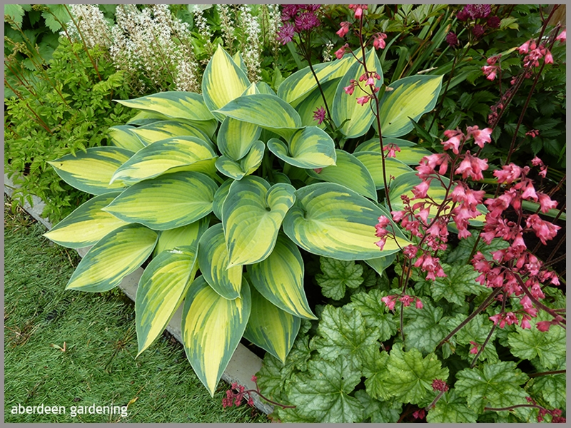 Hosta June in the border of our Fife back garden