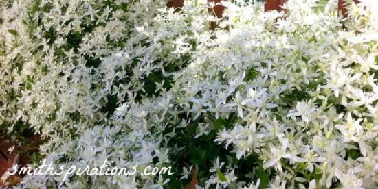 Hopeful's clematis