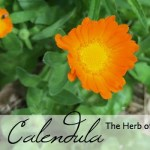 All About Calendula: The Herb of the Month for July