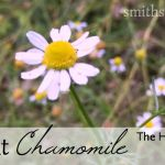 All About Chamomile: The Herb of the Month for August 2015