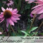 All About Echinacea: The Herb of the Month for December 2015