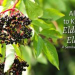 All You Need to Know About Elderberry & Elderflower: Sambucus nigra Monograph
