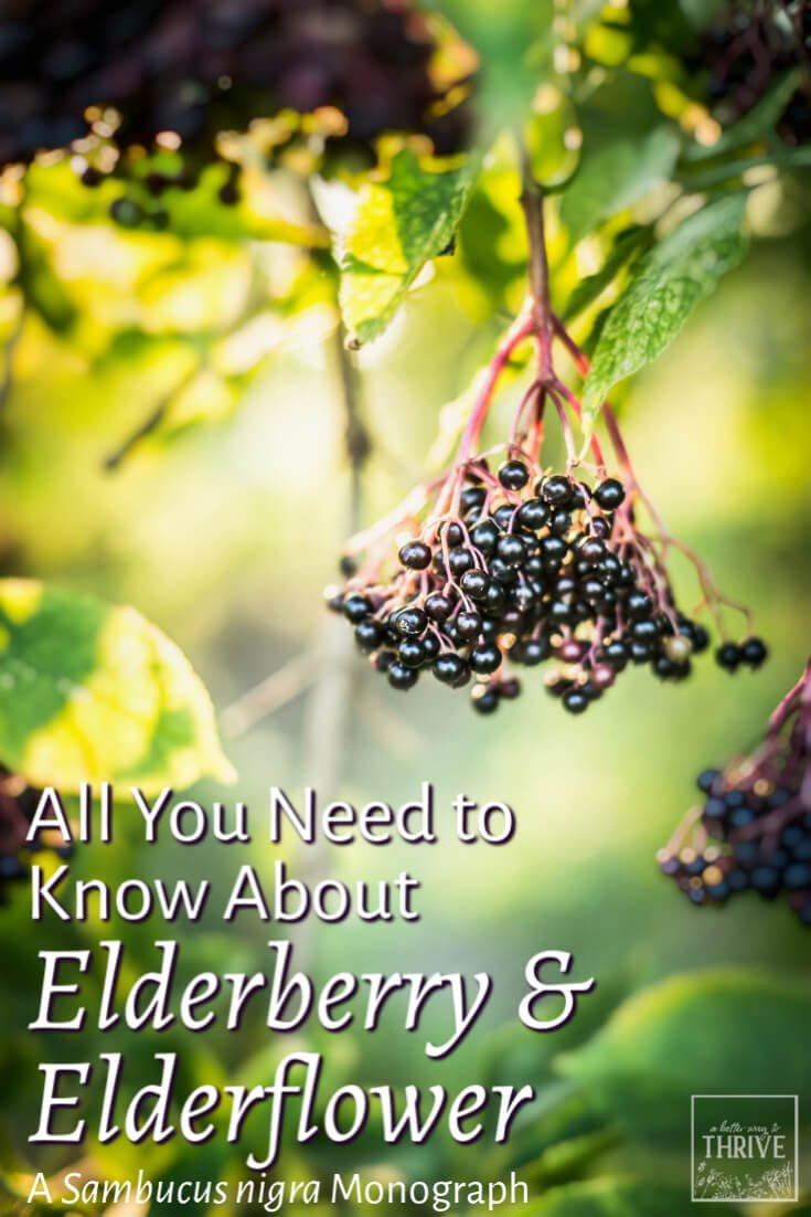 All You Need to Know About Elderberry & Elderflower: A Sambucus nigra Monograph. Elder (Sambucus nigra) is a wonderful herb for immune support. Learn all about elderberries and elderflowers from a seasoned herbalist, including identifying elder, benefits of elderberry and elderflower, and how to prepare both parts of the plant. via @abttrway2thrive