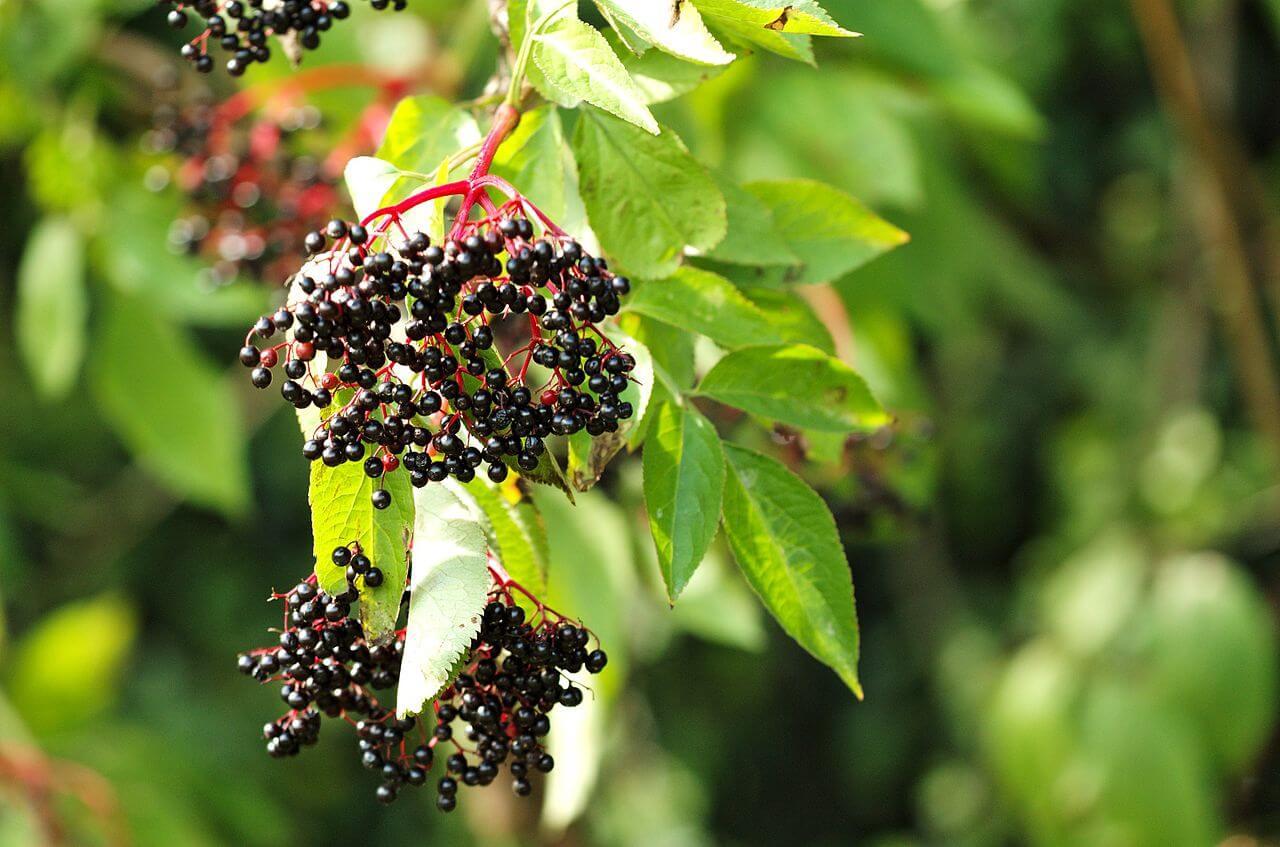 Elderberries on Elder bush