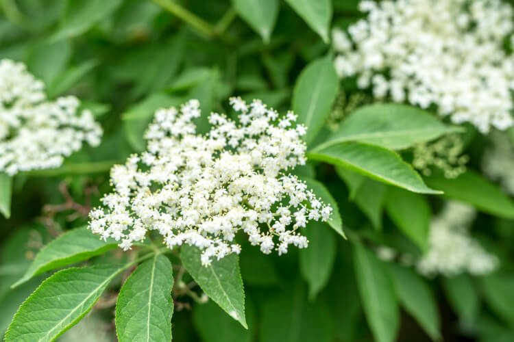 Elderflower umbel with leaves
