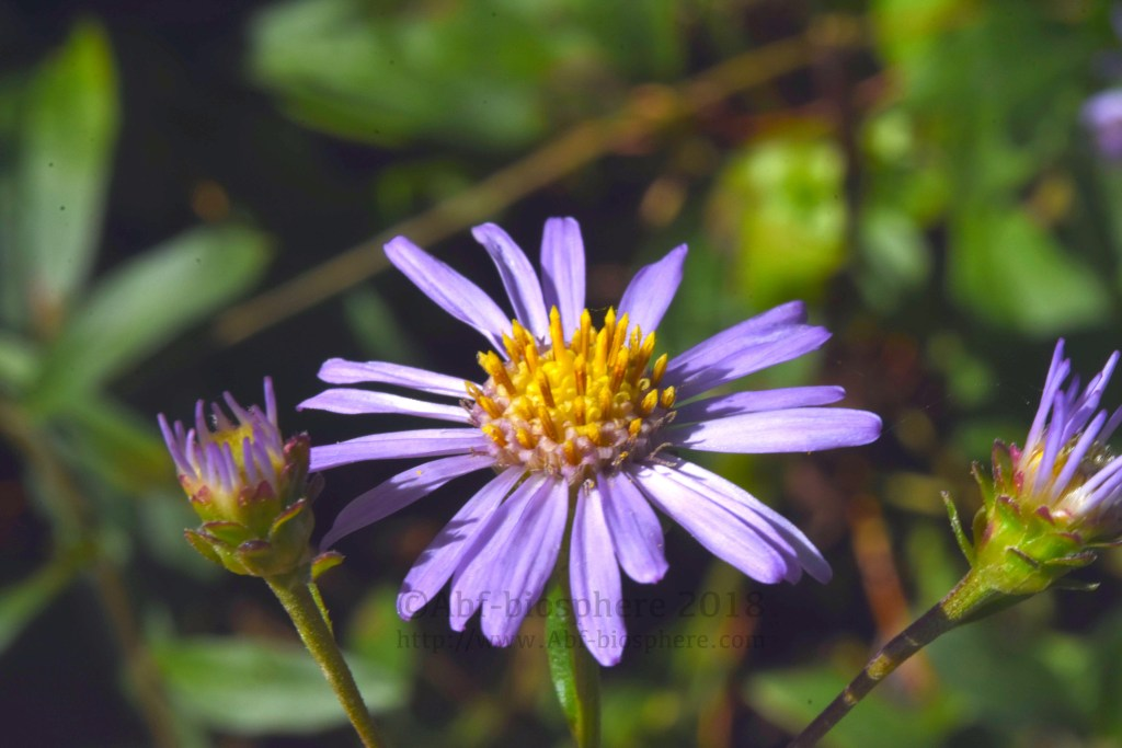 Aster amellus - Aster amelle