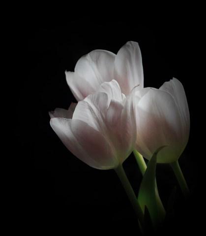 Tulipánmánia