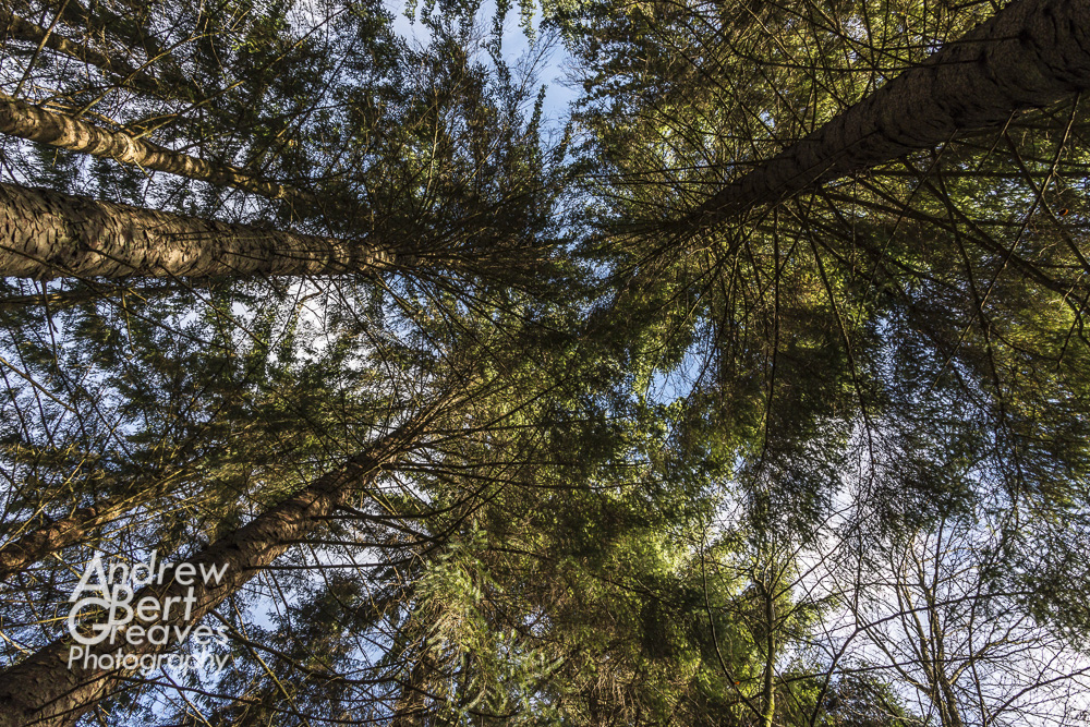 Looking up at pine trees in Queen Elizabeth Forest, Scotland