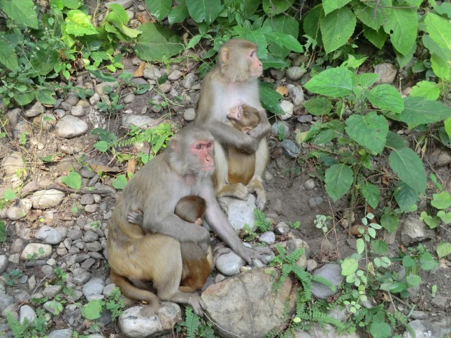 Of mums and babies - The common macaque