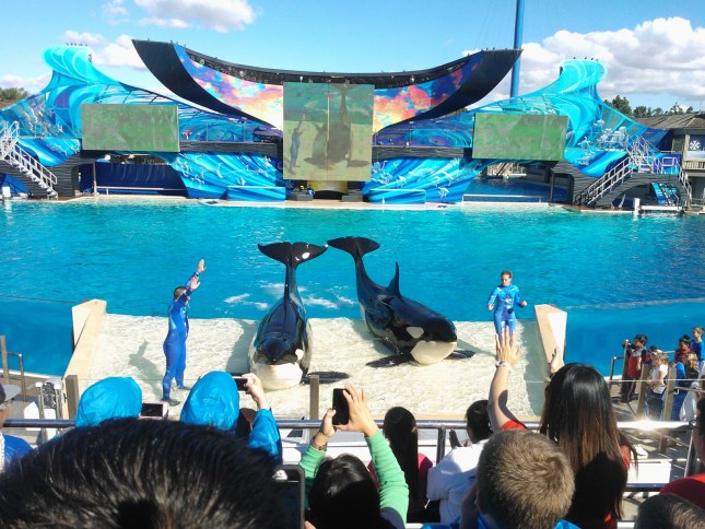 The grand finale of the Shamu show!