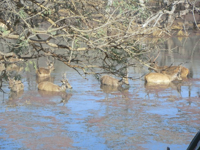 Sambhar deer grazing in the lake