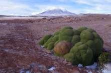 Magnifique plant de yareta, ou Azorella compacta, à l'odeur surprenante de résineux, utilisée comme plante médicinale et comme... combustible!