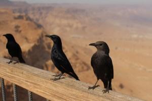 Israel Raven 3