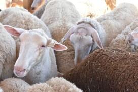 Sheep 6353