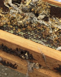 since the bees are warm in their bee boxes we take a look at wax moths and old frames both wood and plastic..