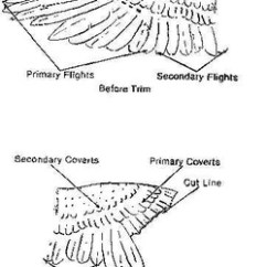 Corn Anatomy Diagram 4 Pin Dc Cdi Wiring Clipping Wings, Toes - A Bird Above Aviary