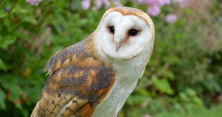 Owls of North America  A Birds Delight