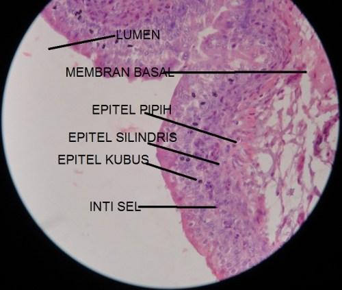 epitel silindris selapis  Biologist and Astronomer