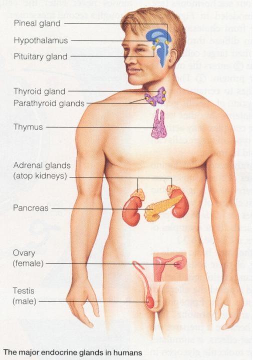 Hormon Manusia : hormon, manusia, Sistem, Koordinasi, MoMenanam